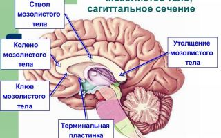 Анатомия и функции мозолистого тела: пороки развития и их последствия