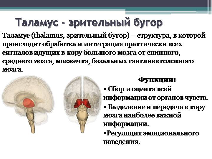 зрительный бугор мозга