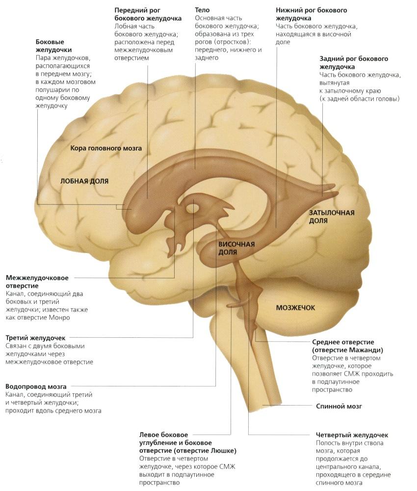 За что отвечает левый желудочек головного мозга