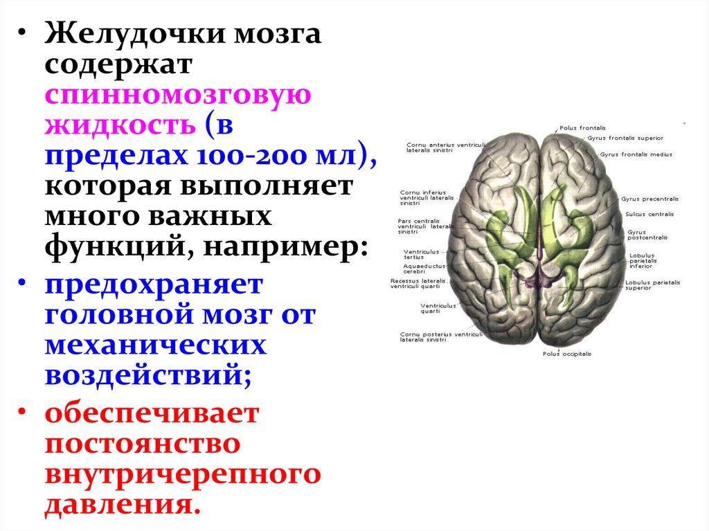 Функции желудочков головного мозга