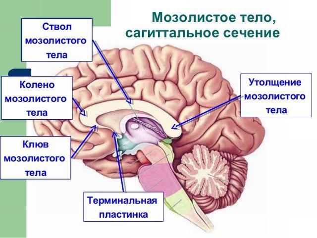 Мозолистое тело